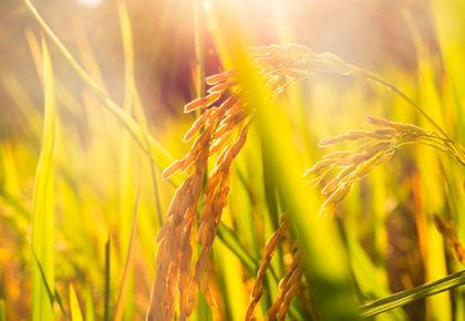 Todo lo que necesitas saber sobre el cultivo del arroz (y cómo aumentar su producción)